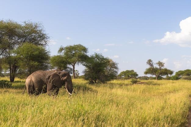 Большой одинокий слон в зеленой саванне. тарангире, танзания