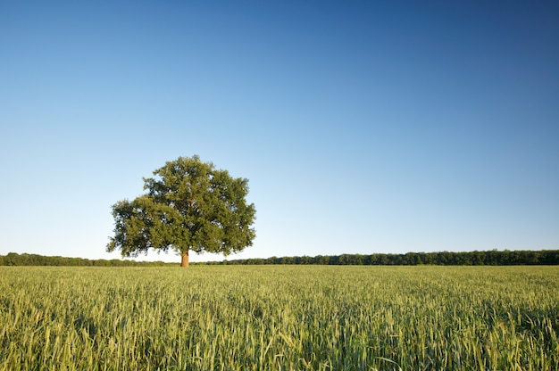 The big lonely oak tree on a green field against the blue sky.