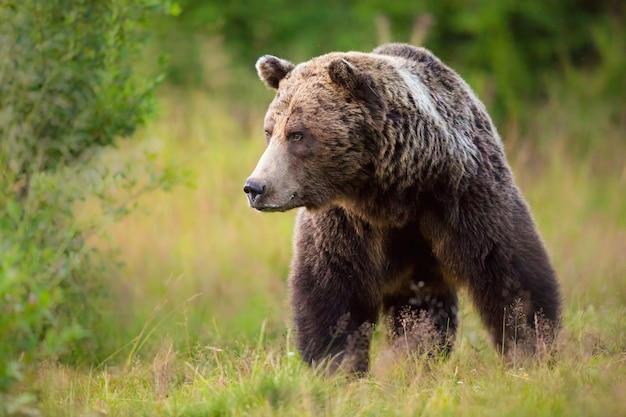 Big male brown bear walking in his territory in summer