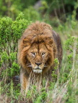 Big male lion in the grass.