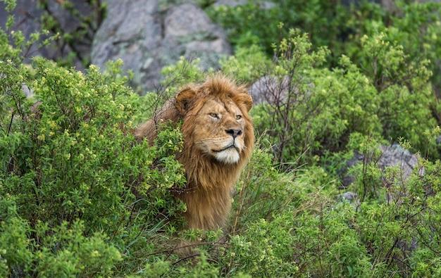 Большой лев-самец в траве.