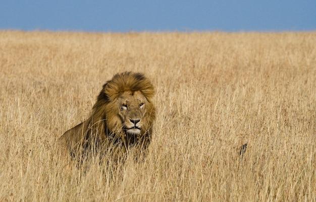 사바나의 큰 수컷 사자. 국립 공원. 케냐. 탄자니아. 마사이 마라. 세렝게티.