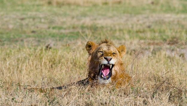 Большой лев-самец лежит в траве и зевает утром