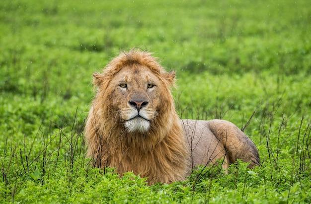 Большой лев-самец лежит в траве.