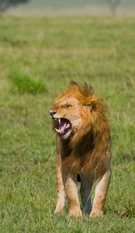 Большой лев-самец стоит в саванне. национальный парк. кения. танзания. масаи мара. серенгети.
