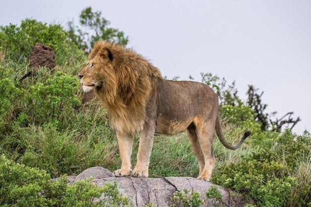Большой лев-самец на большой скале.