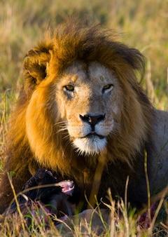 Большой лев-самец с пышной гривой ест добычу. национальный парк. кения. танзания. масаи мара. серенгети.