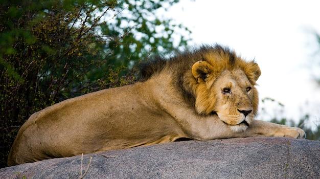 Большой лев-самец с великолепной гривой на большой скале