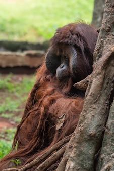 ボルネオ島の大きな男性のオランウータン