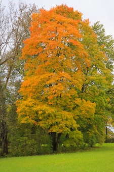 Big maple tree with orange and red leaves in the public park.
