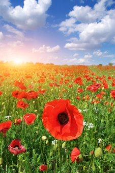 Big meadow of poppies
