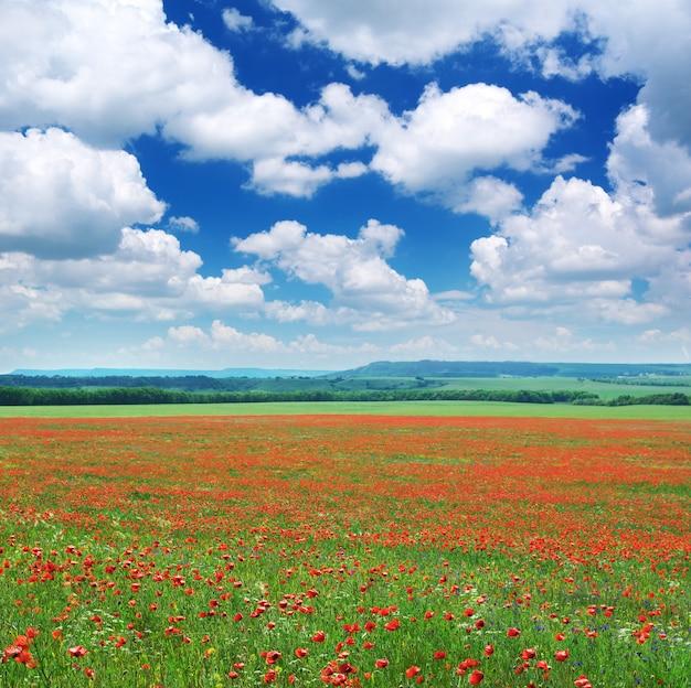 Big meadow of poppys