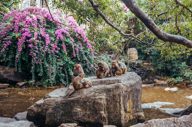 Big monkey family. rhesus macaque mother monkey feeding and protects her cute baby child in tropical nature forest park of hainan, china. wildlife scene with danger animal. macaca mulatta.