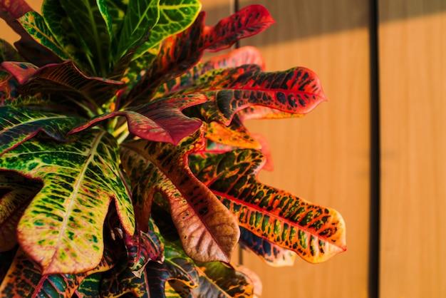 Big multicolored leaves of croton on the wood cupboard doors