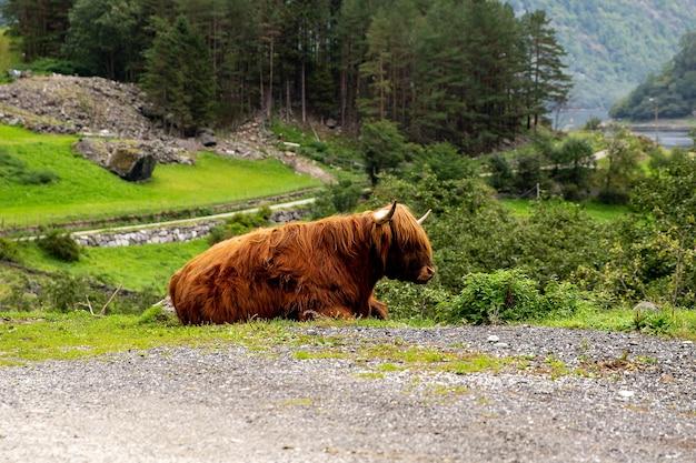 Большой овцебык в своей среде обитания, природный ландшафт на заднем плане. норвежское животное