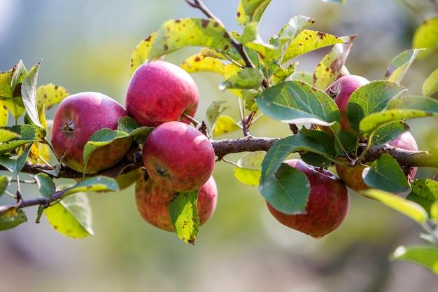 Big nice apples ripening on apple tree in sunny orchard garden