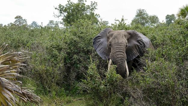 タンザニアのセルース公園に生息する大きな古いアフリカゾウ。アフリカのサファリ旅行。