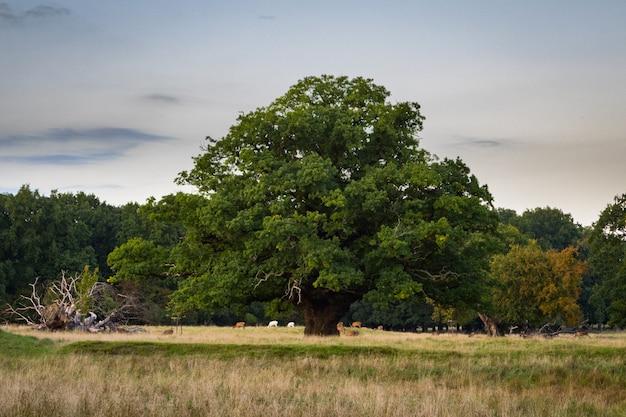 Big, old oak tree with a deer herd under, zealand, denmark