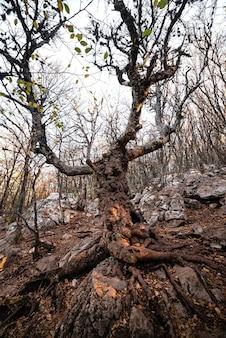 해질녘에 숲에서 큰 오래 된 나무
