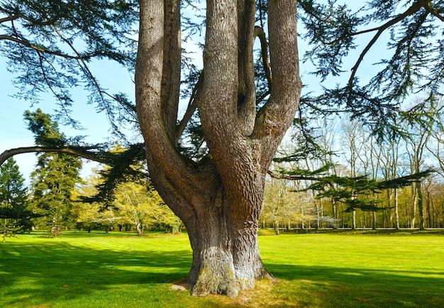 春の公園で分割された太い幹を持つ大きな古い木