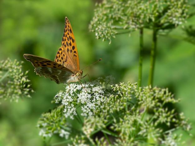 緑の自然に白い花の上に座っている大きなオレンジ色の蝶「真珠の母」
