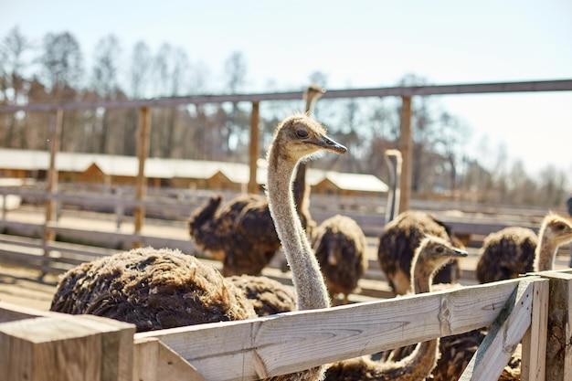 Большие страусы на поле фермы за деревянным забором, домашние животные на открытом воздухе, экологическая концепция.