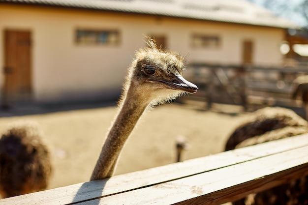 Большие страусы на поле фермы за деревянным забором, домашние животные на открытом воздухе, концепция экологического земледелия.