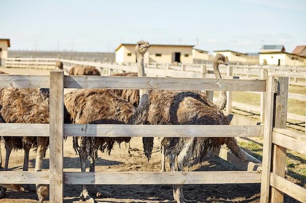 Большие страусы на поле фермы за деревянным забором, домашние животные на открытом воздухе, экологическое земледелие.
