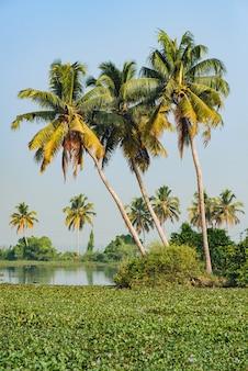アレッピーの背水の風景、ケララ州、インドの大きなヤシの木