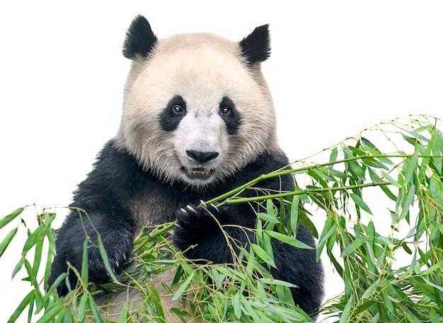 대나무를 먹는 큰 팬더 나뭇잎에 고립 된 흰색 배경