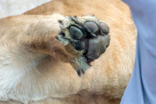 사자의 큰 발은 동물원 가까이에서 유리에 기대어 있습니다.