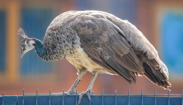 Большой павлин в зоопарке сидит на заборе