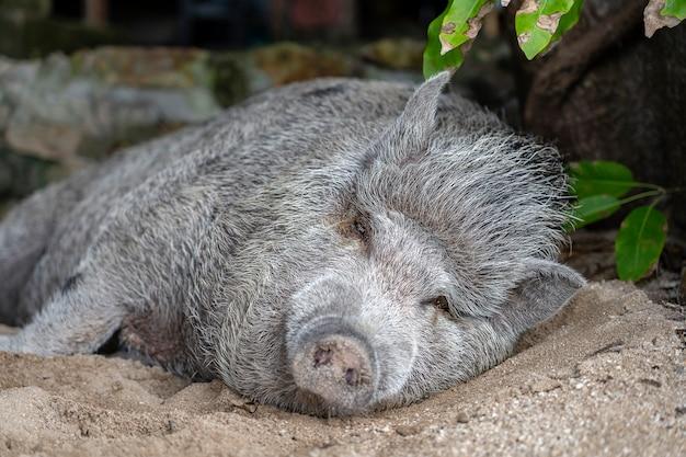 코팡안 섬의 모래 해변에서 자고있는 큰 돼지