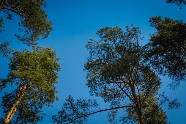 澄んだ青い空の上の大きな松の木のてっぺん