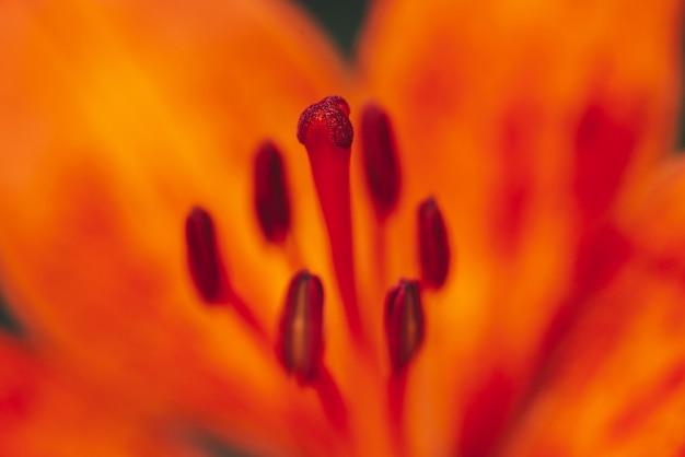 Big pistil and stamens of blooming flower in macro