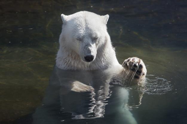 水の中を泳ぐ大きなホッキョクグマ。目を閉じて休む。彼は前足を上に上げた。