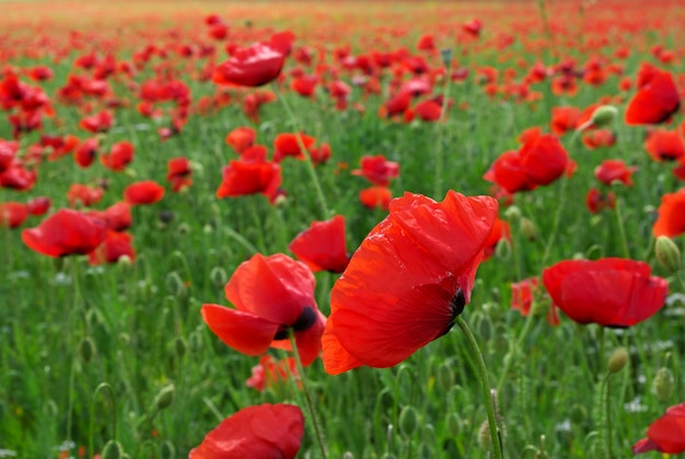 Big poppy meadow