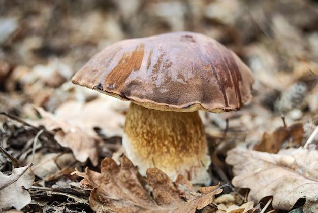 Big porcini mushroom imleria badia in autumn forest