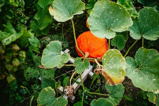 Big pumpkin grows in bushes
