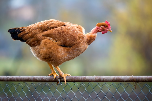 Big red brown hen outdoors sitting on wire fence on bright sunny day on blurred colorful summer