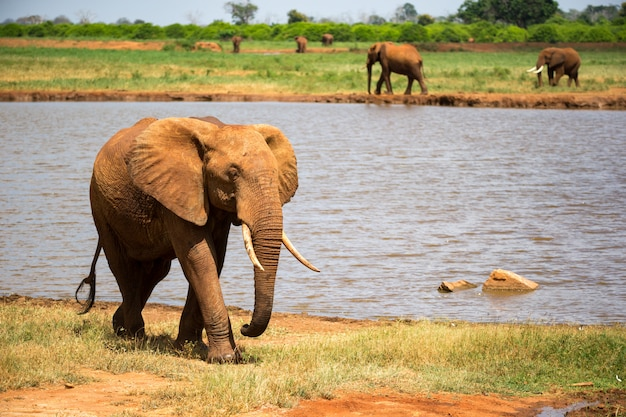 A big red elephant is walking on the bank of a water hole