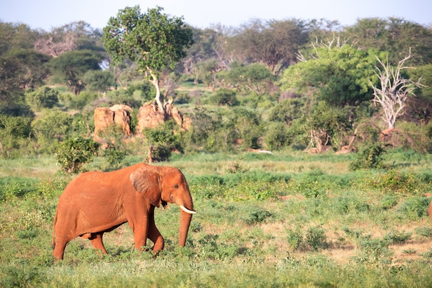 A big red elephant walks through the savannah between many plants