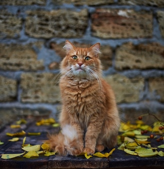 Big red fluffy cat sit on the street