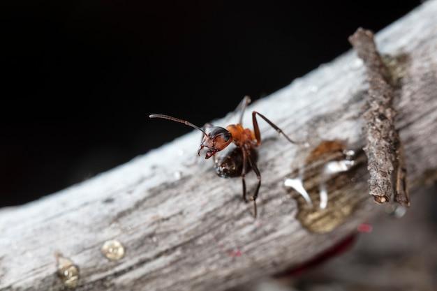 自然の生息地にある大きな赤い森のアリ