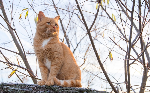 凍った草の上でポーズをとる大きな赤毛の猫