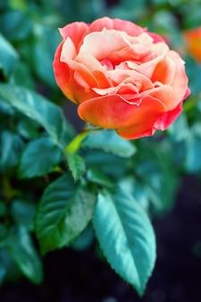 葉のある茂みに大きな赤いバラ