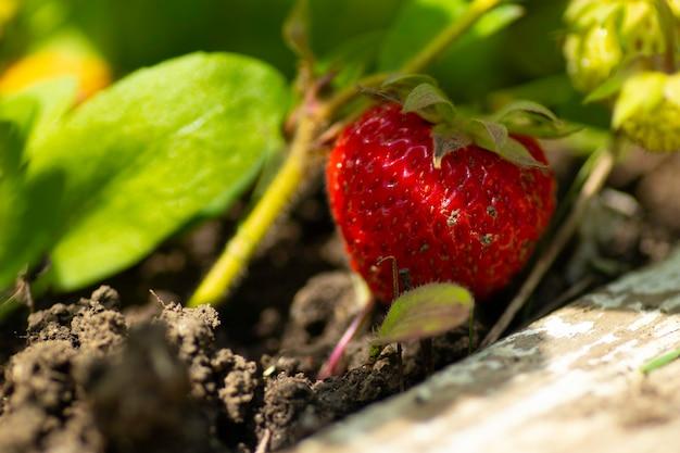 채소밭에 있는 녹색 잎 사이에 큰 빨간 딸기
