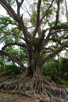 表面上の大きな根。東南アジアのジャングルの密集した茂みに大きな根を持つ古い木。