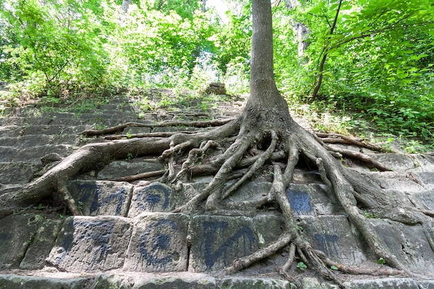 Big roots of an old tree on the stones. beauty in nature.