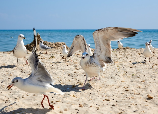 Big sea gulls run after each other on the sandy shore of the black sea coast